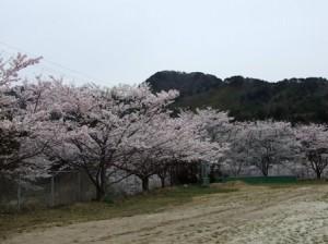 旧桑川小学校の桜(ソメイヨシノ)