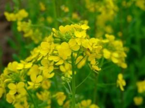 菜の花~アブラナ