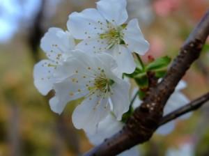 サクランボの花(佐藤錦)