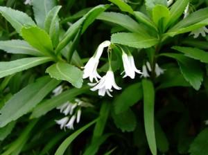 白い花~笹川流れにて