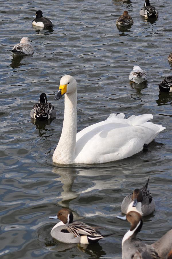 大池の白鳥