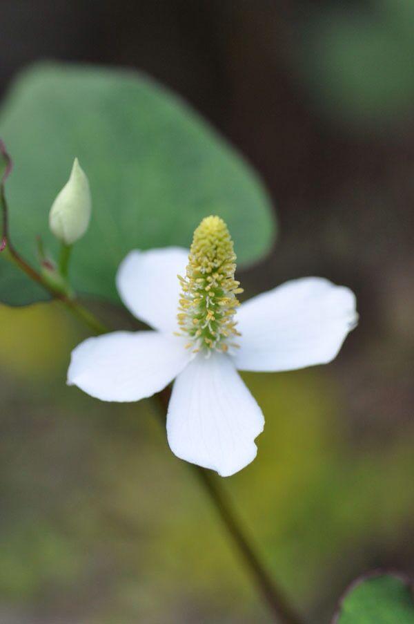 ドクダミの花〜笹川流れ